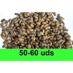 50-60 Blaptica Dubia pequeñas