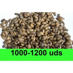 1000-1200 Blaptica Dubia...