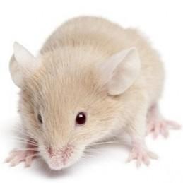 25 ratones medianos (15-19gr)