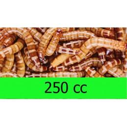 250cc Zophoba Morio