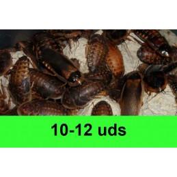 10-12 Blaptica Dubia Grandes
