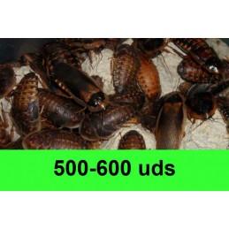 500-600 Blaptica Dubia Grandes
