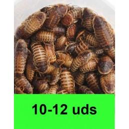 10-12 Blaptica Dubia medianas