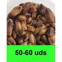 50-60 Blaptica Dubia medianas