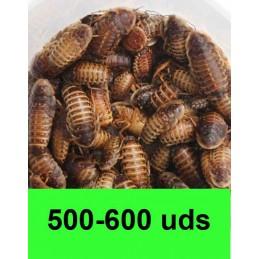 500-600 Blaptica Dubia...